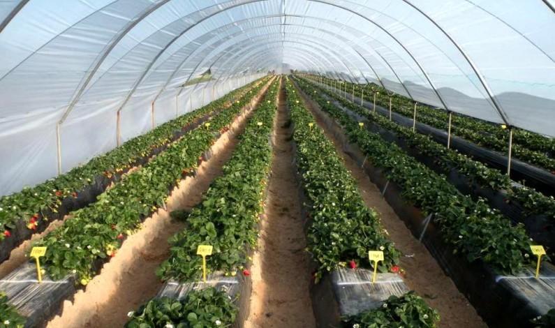 El Ifapa organiza en Bonafru dos jornadas técnicas sobre variedades y plagas en la fresa.