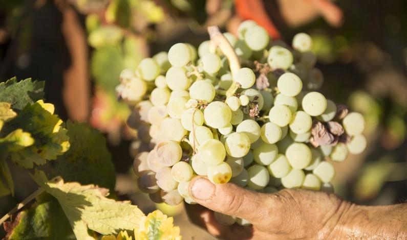 """Bodegas del Socorro cierra la campaña de recolección de la uva Zalema con una producción de 4,8 millones de kilos """"de gran calidad"""""""