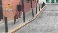 Un lince se pasea por el centro de Rociana del Condado.