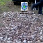 Aparece en Bonares 1500 kilos de piñas robadas.