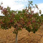 Charla sobre el cultivo y la rentabilidad del Pistacho en Bonares.