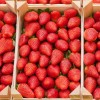 Se desploman los precios de la fresa después de Semana Santa.