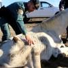 Hallados doce equinos abandonados y desnutridos en Lucena del Puerto.