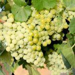 Bodegas del Socorro exporta 300.000 litros de vino blanco a granel amparado por la DO Condado de Huelva para su distribución en Alemania